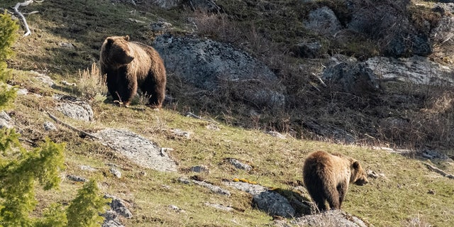 A grizzly bear mother (sow) and her cub on a rocky hilltop observing their surroundings looking for food and watching for danger near the Lamar Valley canyon off the Gardiner to Cooke City highway in Yellowstone National Park, Wyo.