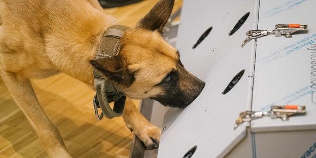 Dogs like this Belgian shepherd being trained in Germany can detect the virus through smell.