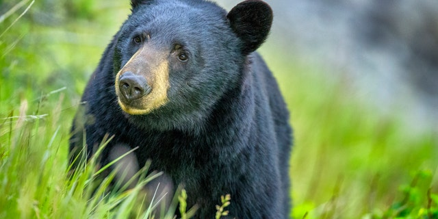 The Missouri Conservation Commission gave the green light to a black bear hunt from October 18 – 27 this year.