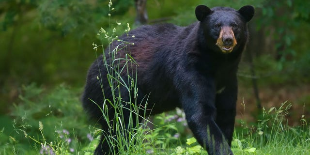 The 2020-21 bear hunting season in Virginia was the second-best year ever recorded in the state of Virginia.