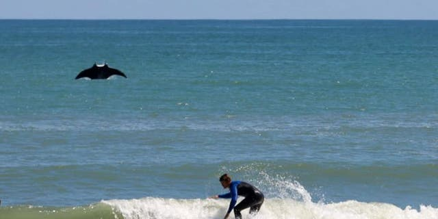 A mammoth manta ray — more than eight feet long — jumped out of the water and photobombed a surfer.