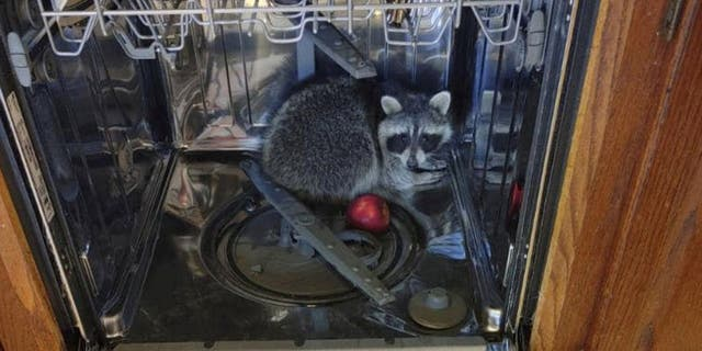 A North Ridgeville, Ohio, resident called police to their home after discovering a raccoon hiding in his dishwasher.