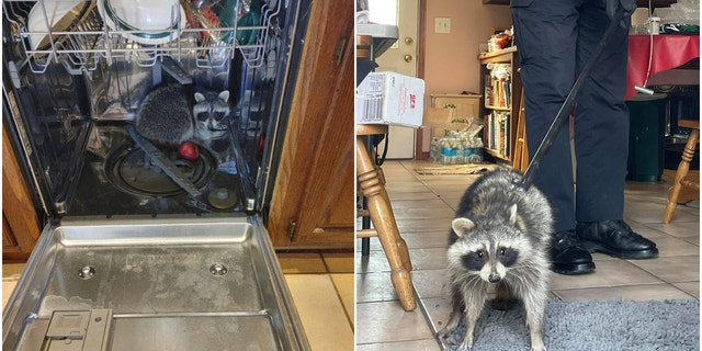 Photos from the latest call show the critter crouched inside the dishwasher, and then led away on a leash by the officer. (SWNS)