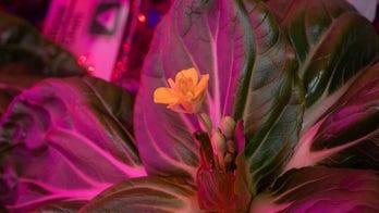 NASA astronauts grow leafy greens for longest stint on ISS