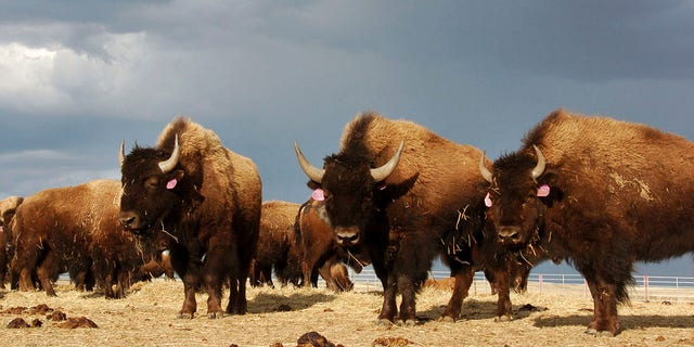 In an April 24, 2012, file photo, a herd of bison stand in a pen on the Fort Peck Reservation near Poplar, Mont. (AP Photo/Matthew Brown, File)