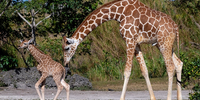 In this photo provided by Zoo Miami, an unnamed male calf, born on Friday, April 2, 2021, walks with his mother at the zoo on Monday, April 5, 2021, in Miami. (Ron Magill/ZooMiami via AP)