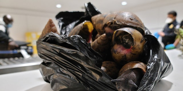 NOI. Customs and Border Protection agents seized 22 Giant Afrian Snails from a traveler's bag at JFK airport earlier this week.