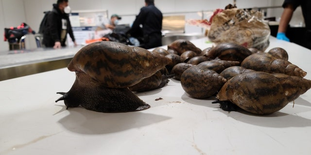 Florida has been working to eradicate Giant African Snails since they were reintroduced to the state in 2011, after first being eradicated in the 1970s.