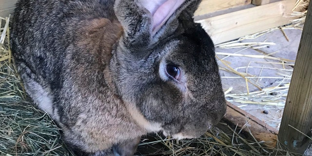 Darius, the world's longest rabbit, was reportedly stolen from his home over the weekend. His owner, former Playboy model and rabbit breeder Annette Edwards is offering a reward for his return. (West Mercia Police via AP)