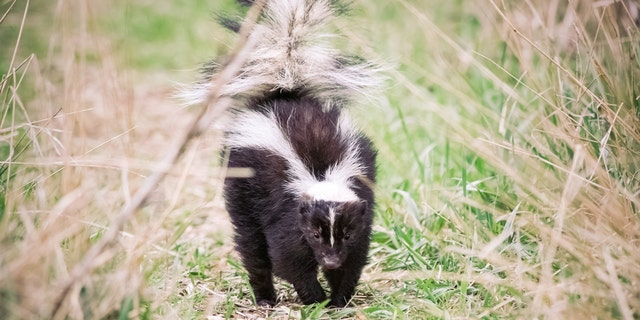 An Arvada, Colorado police officer pulled the cup off the skunk's head using what appeared to be a trash grabber.