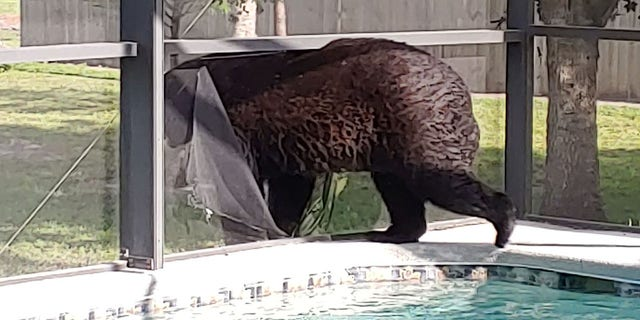 A Golden Gate Estates homeowner has been spotting an unusual guest cooling off inside her swimming pool on hot days