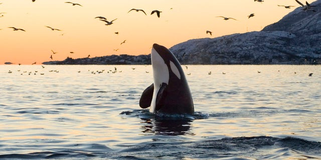 """At first, the crew """"heard a strange noise and rushed to the top of the ship"""" thinking they may have hit a container – but """"quickly realized that killer whales were playing around the ship instead."""