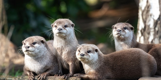 The otters are expected to make a full recovery.