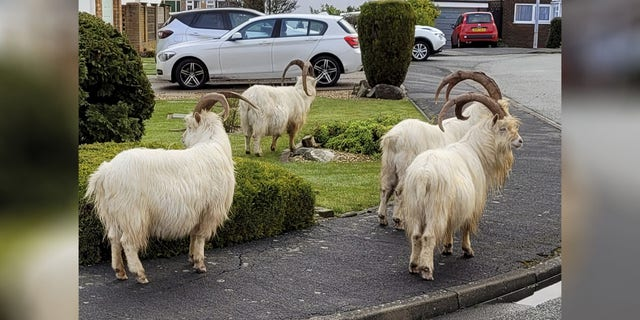 Normally, the Kashmiri goats near the town of Llandudno would receive contraceptive injections in order to keep their numbers down.