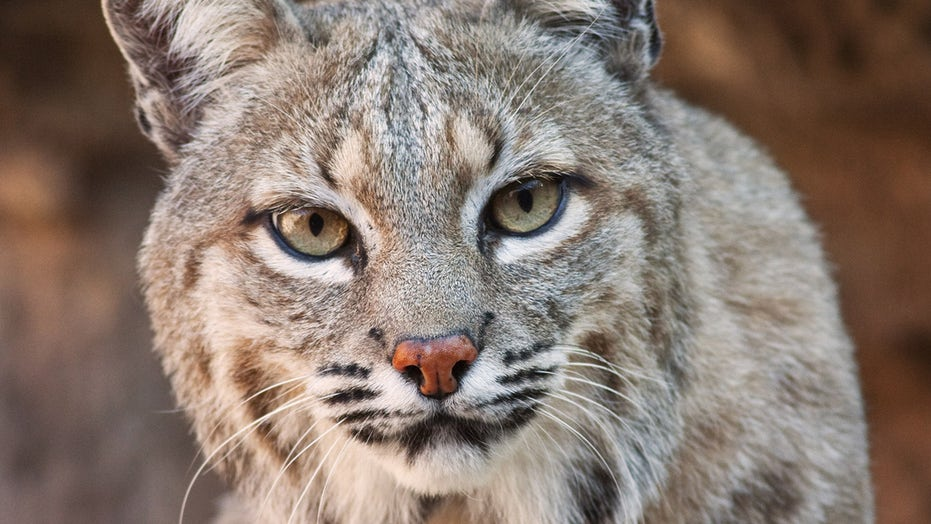 Man chucks bobcat after it attacks wife in driveway, surveillance footage shows