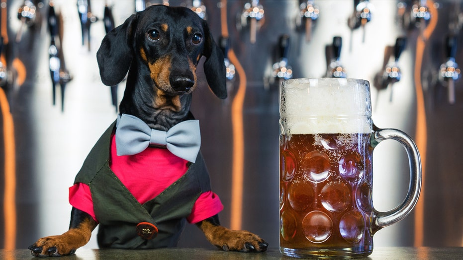 Busch Beer paying dog $20G, plus 'benefits,' to taste Dog Brew