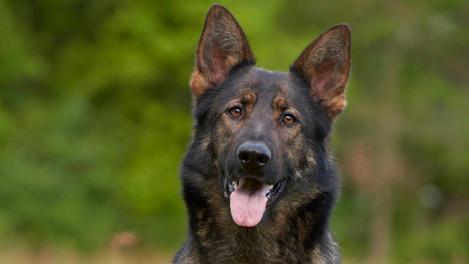 Ex-police dog's serious reaction to word 'cocaine' rocks TikTok