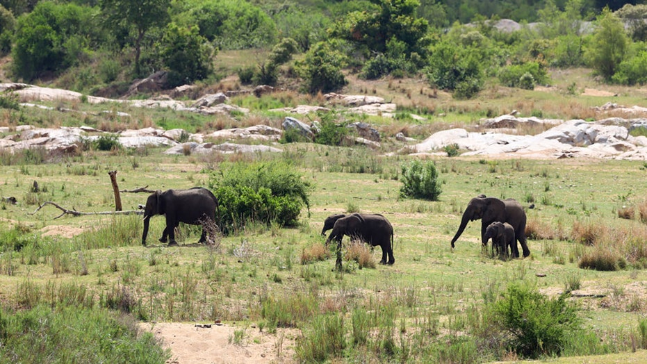 Elephants kill suspected poacher at South African national park, officials say