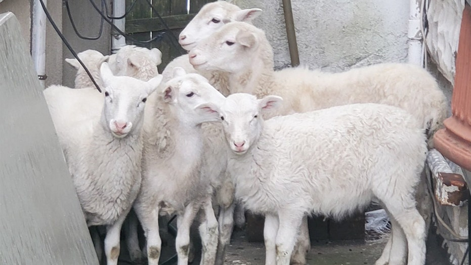 Brooklyn homeowner calls 911 after finding flock of sheep in backyard