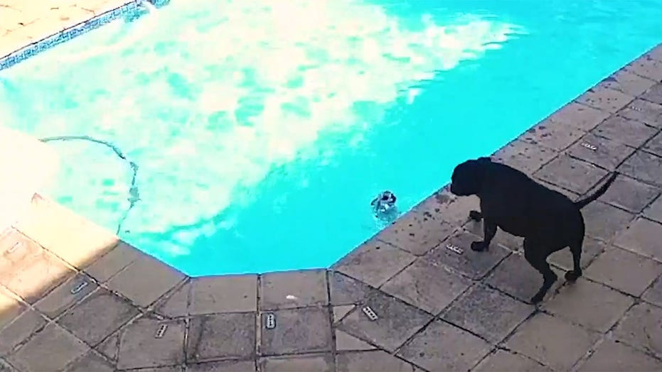 Dog rescues another dog from drowning in pool