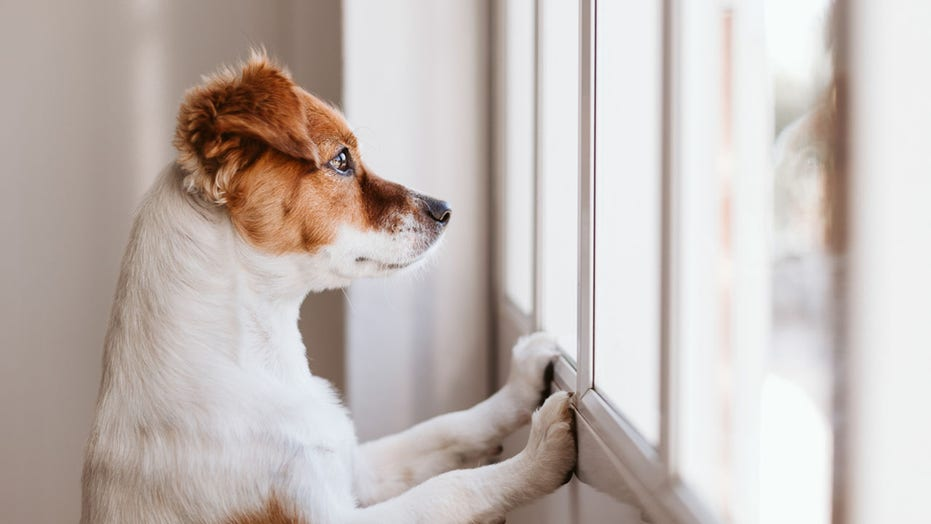 Some pet dogs need expensive therapy after lockdowns