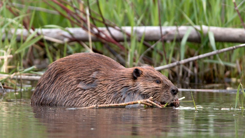 Beavers reportedly knock out cell phone and internet service in Canadian town