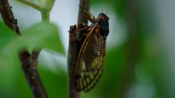 Brood X cicadas force businesses, homeowners to take precautions