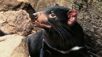 Tasmanian devil joeys born on Australian mainland for first time in 3,000 years