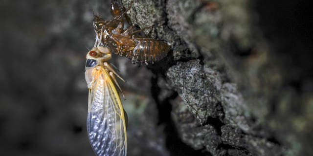 Trillions of cicadas are about to emerge from 15 states in the U.S. East. Scientists say Brood X is one of the biggest for these bugs which come out only once every 17 years. (AP Photo/Carolyn Kaster)