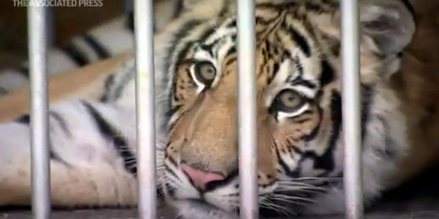 The frame is derived from a video provided by the Houston Police Department showing a tiger found after a nearly week of search (Associated Press).