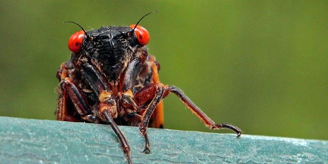 پرونده - Cicada در 11 مه 2011 بر بالای طاقچه در Chapel Hill ، NC نگاه می کند (AP Photo / Gerry Broome، File)