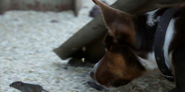 Hank, un chien de travail devenu souris, poursuit une souris dans une ferme près de Tottenham, en Australie, le 19 mai 2021.