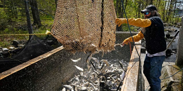 Doug Young unloads a net full of river herring, also known as alewives, during a harvest, Sunday, May 16, 2021, in Franklin, Maine. The fish are sold as bait to commercial fishermen. (AP Photo/Robert F. Bukaty)