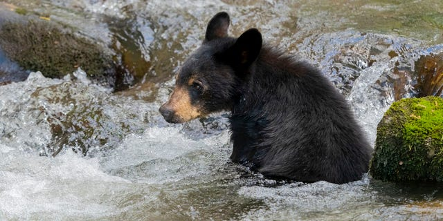 A group of seven black bears recently crashed a high school group's pool party in Gatlinburg, Tennessee. (iStock)