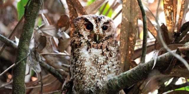 Smithsonian ecologist Andy Boyce reported the rediscovery and photographed the elusive Bornean subspecies of the Rajah scops owl, <i>Otus brookii brookii</i>, in the mountainous forests of Mount Kinabalu in Sabah, Malaysia. (Courtesy Andy Boyce / Smithsonian Magazine)