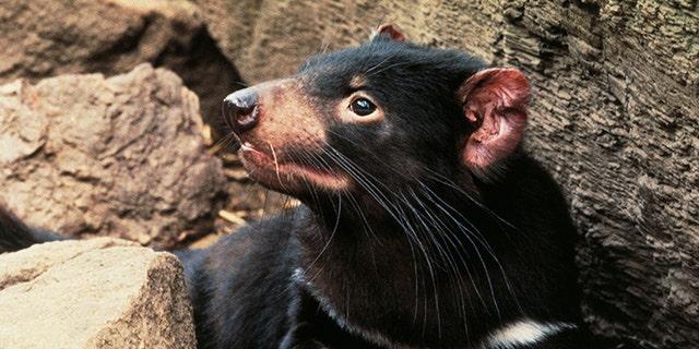 MAART 03: Tasmanian devil (Sarcophilus harrisii), Dasyuridae. (Photo by DeAgostini/Getty Images)