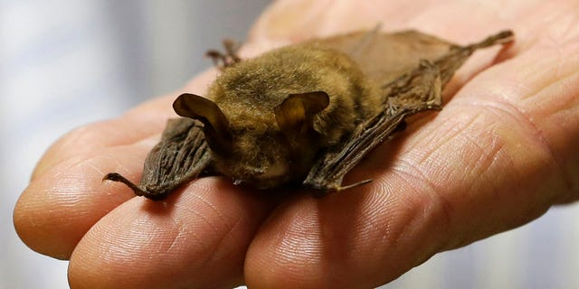 FILE — In this Feb. 8, 2017 file photo, a northern long-eared bat is held at the Cleveland Museum of Natural History, in Cleveland.