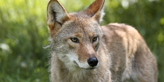 Coyotes have significant impacts on Alabama's white-tailed deer populations, according to officials.