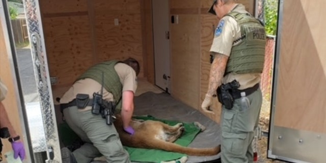 Cougars, also known as pumas or mountain lions, can grow up to 180 pounds and 8 feet long, according to Washington wildlife officials. (Ephrata Police)
