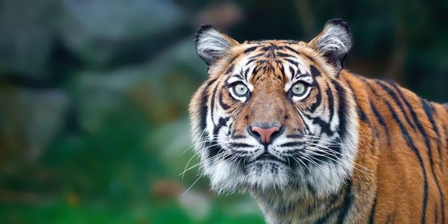 Tiger staring at camera