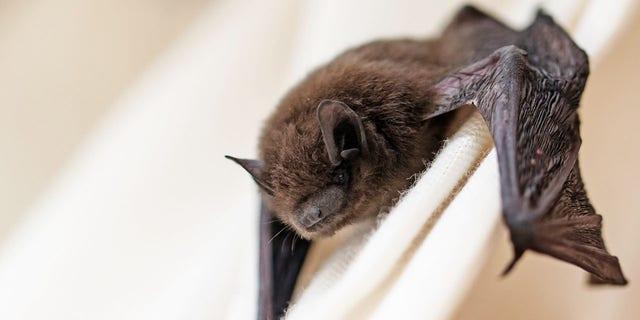 This common pipistrelle (Pipistrellus pipistrellus) is a small brown bat.