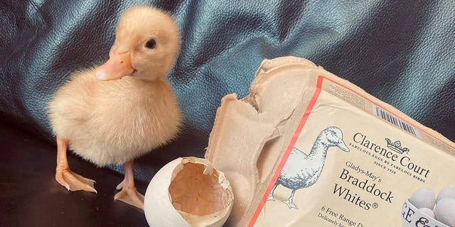 Adele Phillips bought a package of free-range duck eggs back in March.