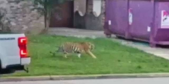 The tiger, a 9-month-old male named India, was seen roaming a Houston neighborhood this week.