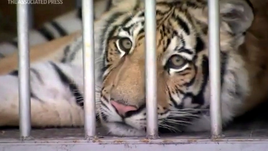Houston tiger returned safely — with help from intermediary, report says