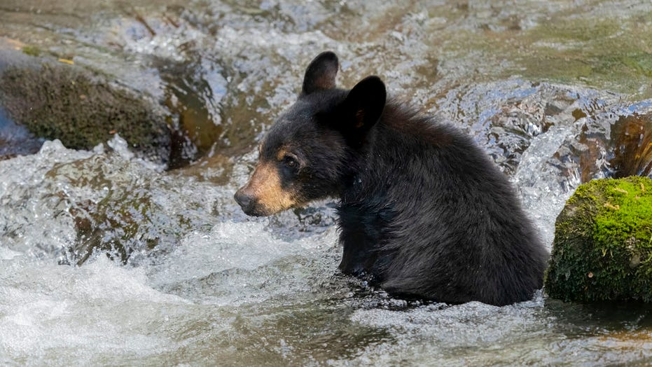 Black bears crash Tennessee pool party near Smoky Mountains
