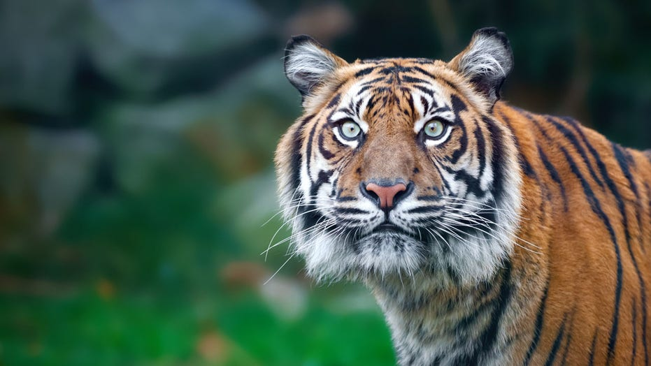 Tiger filmed roaming Houston neighborhood while off-duty cop tries to protect his neighbors