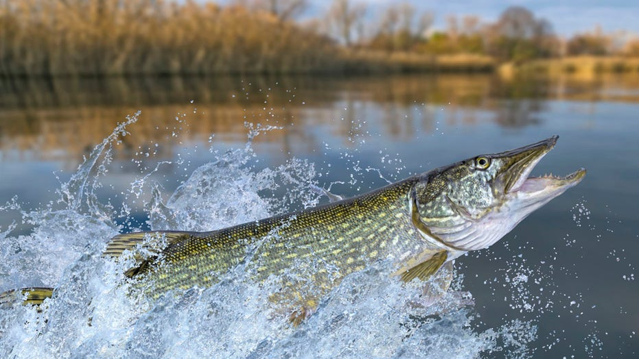 Record-breaking fish caught and released in West Virginia