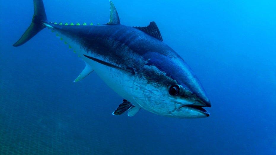 Texas fisherman catches 876-pound record-breaking fish