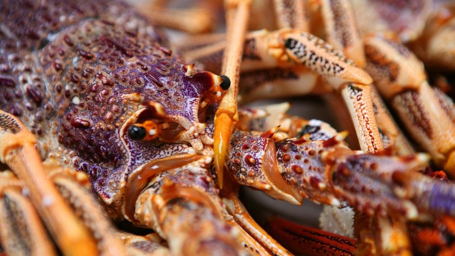 Australian fisherman shows off giant rock lobster in TikTok video