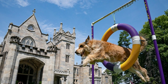 Chet, a berger picard, performs a jump in an agility obstacle at the Lyndhurst Estate. (AP Photo/John Minchillo)